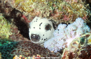 White spotted Puffer .Mauritius island.Canon 7D Ikelite h... by Linley Jean-Yves Bignoux