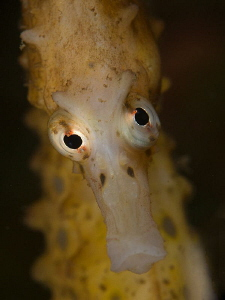 Big-bellied Seahorse, Chowder Bay. by Doug Anderson