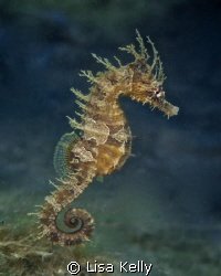 This seahorse has places to go and people to see. by Lisa Kelly