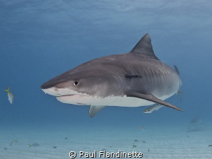 Pregnant Tiger shark, Galeocerdo cuvier, Tiger Beach, Bah... by Paul Flandinette