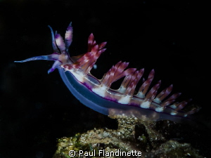 Flabellina rubrolineata, Nudibranch, Bunaken, North Sulawesi by Paul Flandinette
