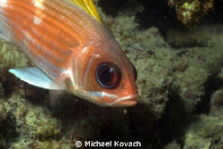 Squirrelfish on the Ledge of Turtles off the beach in For... by Michael Kovach