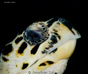 little green turtle by Jonathan Sala