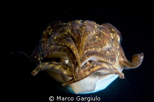 Mediterranean Cuttlefish Sepia officinalis, night dive