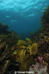 Lonely kelp by Daniel Poloha