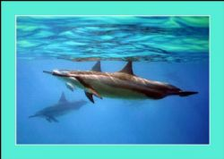 Spinner Dolphins - West Shore Oahu, Canon 300d by Glenn Poulain