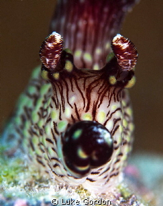Jorunna rubescens blowing a kiss! by Luke Gordon