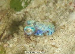 Cuttlefish by Lawrence Lee