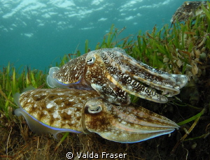 The female broadclub cuttlefish is selecting the perfect ... by Valda Fraser