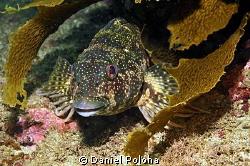 Smiling kelpfish by Daniel Poloha