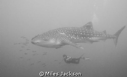 Susanne admires a majestic Whaleshark by Miles Jackson