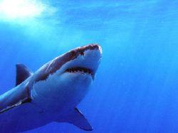Boris, Great White Shark, Isla de Guadaloupe. Looking for... by Anna Kinnersly