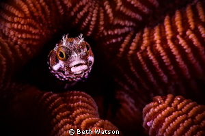 Blenny from Bonaire... Subsee +10 Diopter by Beth Watson