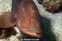 Curious Red Grouper on the Ledge of Turtles off the beach... by Michael Kovach