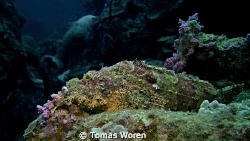 A Scorpion fish resting his chin on the reef. Shot taken ... by Tomas Woren