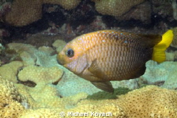 Yellowtail Damselfish on the Ledge of Turtles off the bea... by Michael Kovach