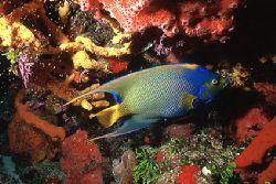 Queen Angelfish - Cozumel - Mexico - Nikonos V - 20mm lens by Eduardo Lima