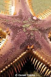 Astropecten sea star by Daniel Poloha