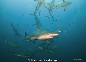 Schooling Blacktip sharks by Rasmus Raahauge