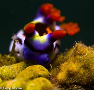 Nudibranch at Maubarra East Timor by Greg Duncan