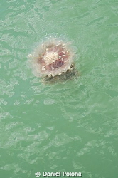 Jellyfish floating in the green sea by Daniel Poloha