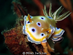 Twin Chromodoris by Miles Jackson