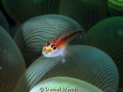 Goby and bubbles.... by Daniel Wernli
