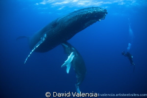 This momma and baby humpback whale allow a diver's close ... by David Valencia