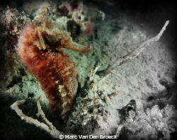 muck diving puerto gallera by Marc Van Den Broeck