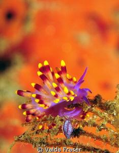 Trinchesia sibogae and amphipod. by Valda Fraser
