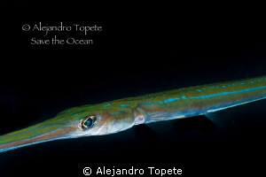 Trumpet Fish close to me, La Paz Mexico by Alejandro Topete
