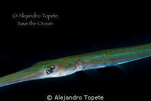 Trumpet Fish close to me, La Paz Mexico by Alejandro Topete