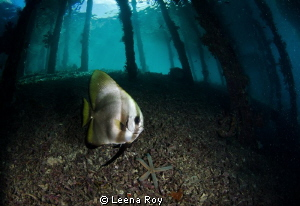 Batfish under pier by Leena Roy