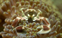 This tiny anemone porcelain crab uses its umbrella like f... by Jim Catlin