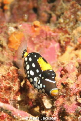 A very shy juv. Clown Triggerfish is a tough fish to phot... by Miles Jackson