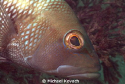 Black Sea Bass on the sand on the way to the Big Coral Kn... by Michael Kovach
