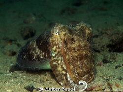cuttle fish by Walter Bassi