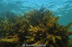 Ecklonia kelp forest by Daniel Poloha