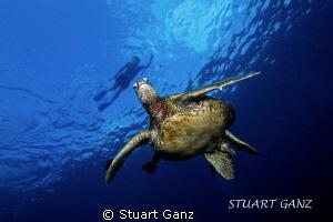 Snorkeler floating above the Honu by Stuart Ganz