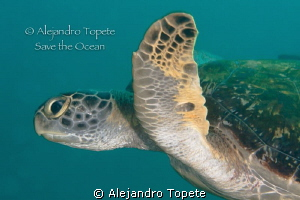 Beuty turtle in green, La Paz Mexico by Alejandro Topete
