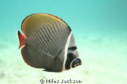 Red Tailed Butterflyfish by Miles Jackson