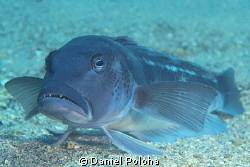 "Blue cod ""sitting"" on the sandy bottom by Daniel Poloha"