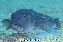 "Blue cod ""sitting"" on the sandy bottom by Daniel Poloha"