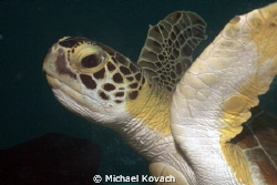 Adolescent Green Sea Turtle near the Fish Camp Rocks off ... by Michael Kovach