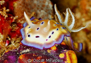 chromodoris by Oscar Miralpeix