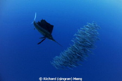 Dinner Formation A sailfish, the most speedy animal in t... by Richard (qingran) Meng