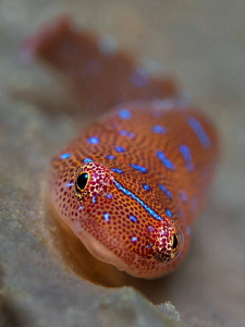 Eastern Cleaner Clingfish, Bare Island. by Doug Anderson
