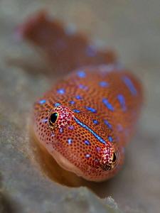 Eastern Cleaner Clingfish Bare Island. Island