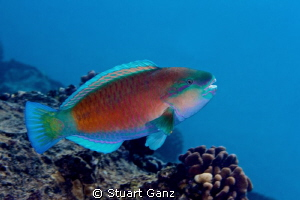 Parrot fish by Stuart Ganz