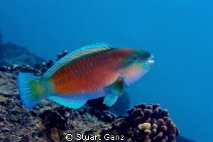 Parrot fish by Stuart Ganz
